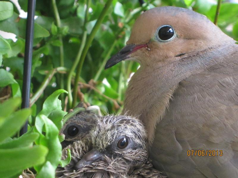 mourning dove & 2 squabs