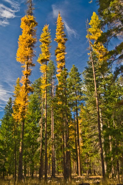 Brillant yellow larch set the tone for fall.