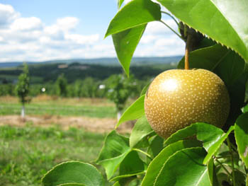 Asian Pears in August