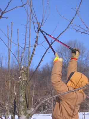 Pruning in Winter Snow