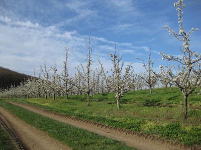 pear blossoms in a row
