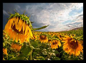 Zombie Sunflower by Dewey Fladd