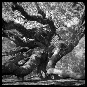 Angel Oak Reaching by Steve Tryon