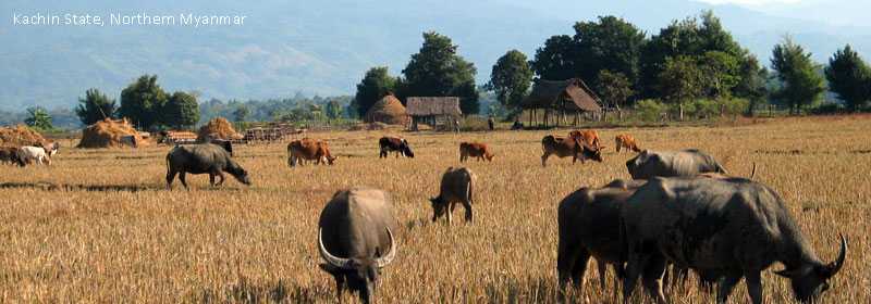 Cows grazing in Northern Myanmar