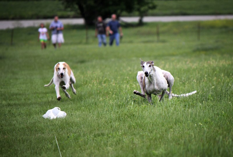 Lure Coursing 2012 1