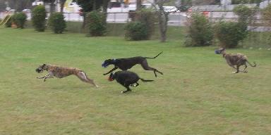 Greyhounds running