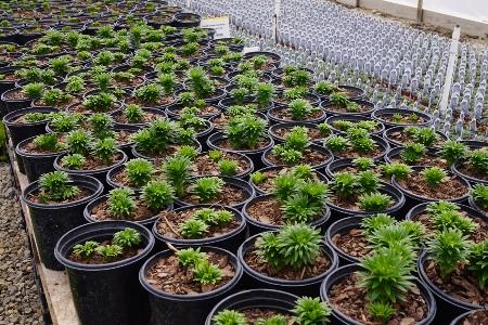 Lilium crops