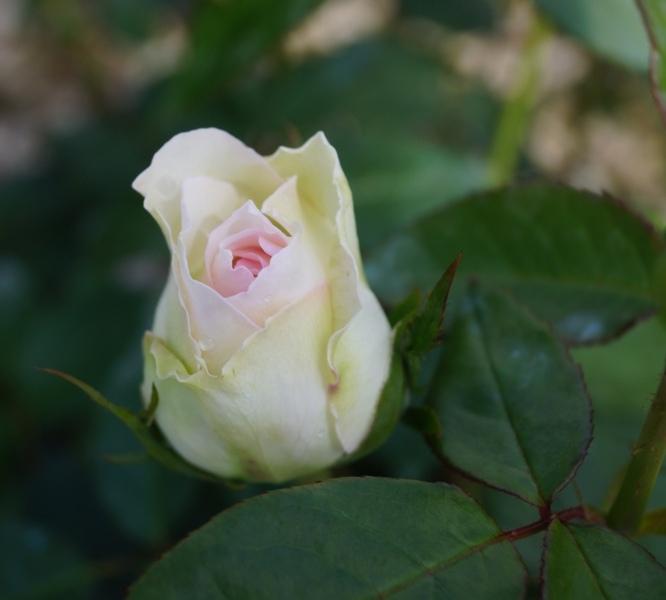 Bolero Garden Rose