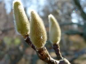 Magnolia - budded