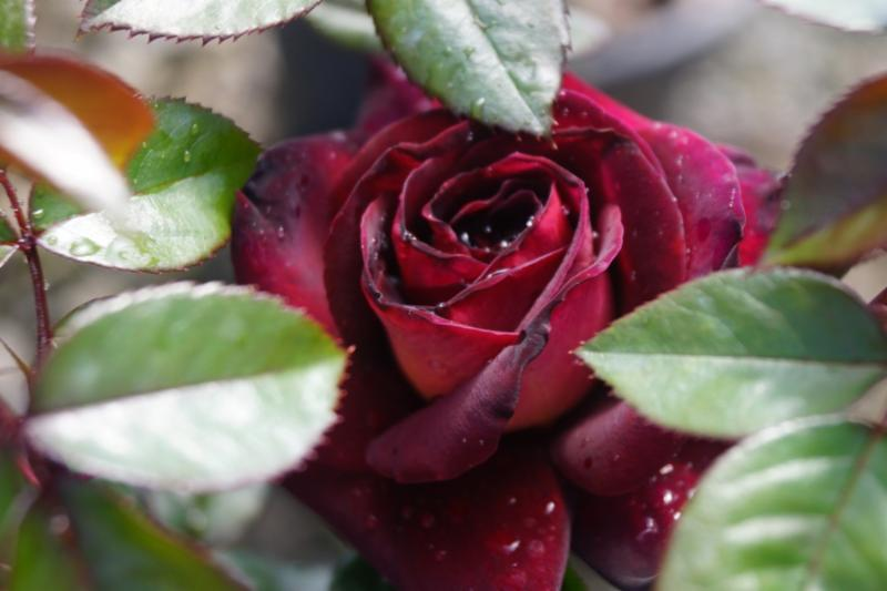 Dark Knight Garden Rose
