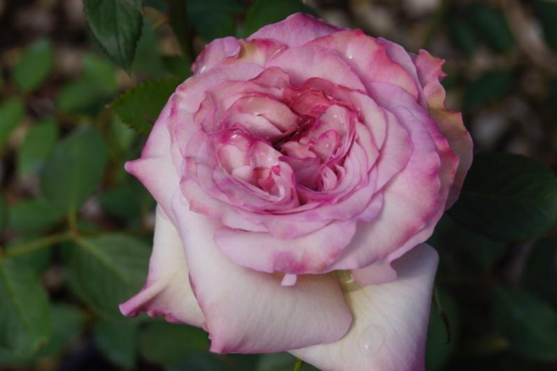 Nicole Carol Miller Garden Rose
