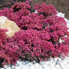 Sunsparkler Dazzleberry