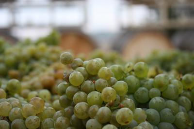Chardonnay fruit