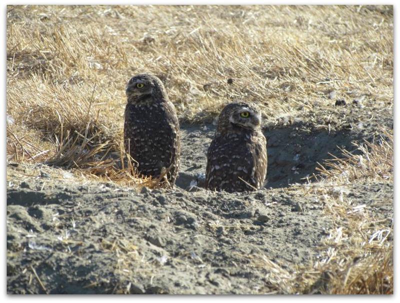 Burrowing Owls1