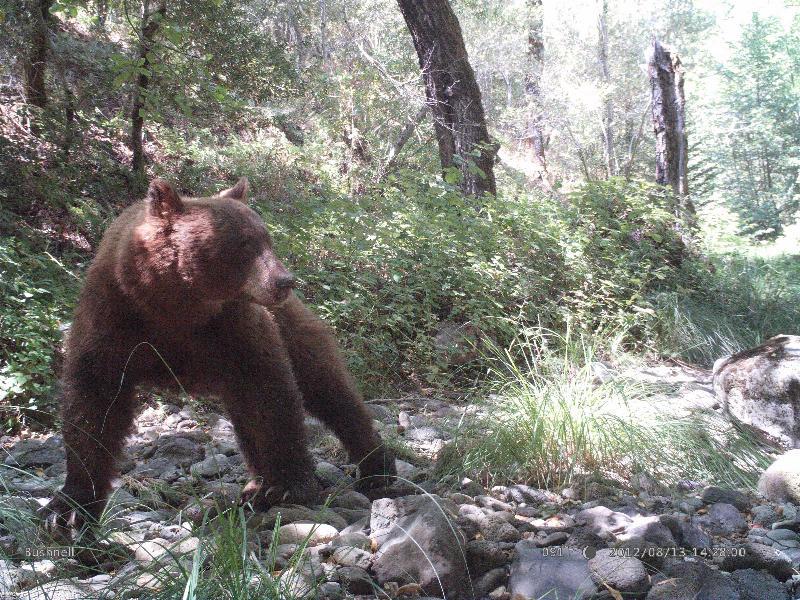 Camera Trap - Bear in Napa County