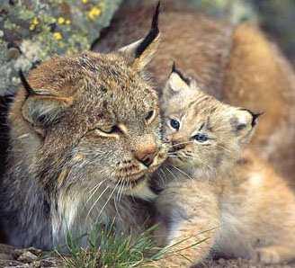 lynx & baby