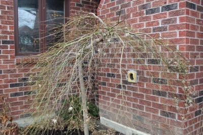 japanese maple uneven growth
