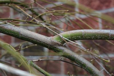 japanese maple branch collar
