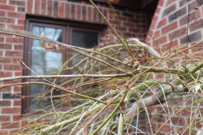japanese maple branches age and health