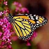IBS Butterfly