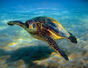 Sea Turtles in Hawaii - photo by Anita Wintner