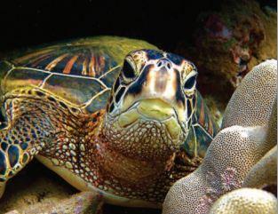 Hawaiian Green Sea Turtle - photo by Anita Wintner