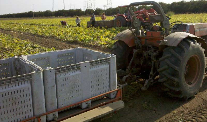 Harvesting Butternut Squash