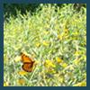 butterfly on sunn hemp flowers