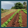 Lettuce trials