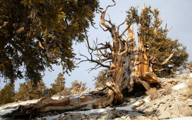 Young and Old Bristlecone