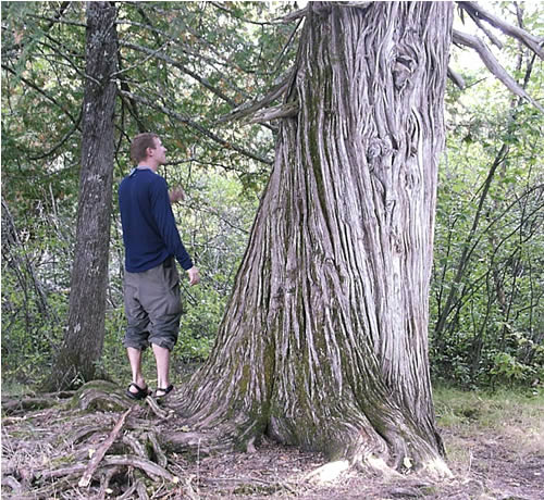 Oldest tree in MN