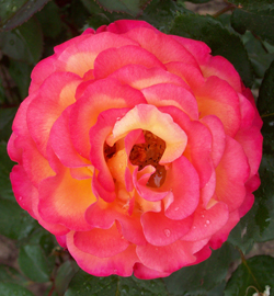 pamper roses organically