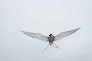 Arctic Tern. Photo: Sergey Dereliev, CMS