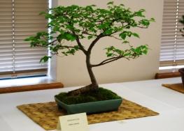 Bonsai Siberian Elm