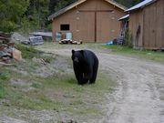 Libby Bear