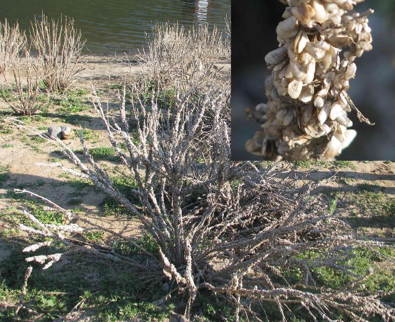 mussel infestation