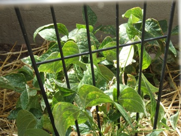 Sunscald bean plants