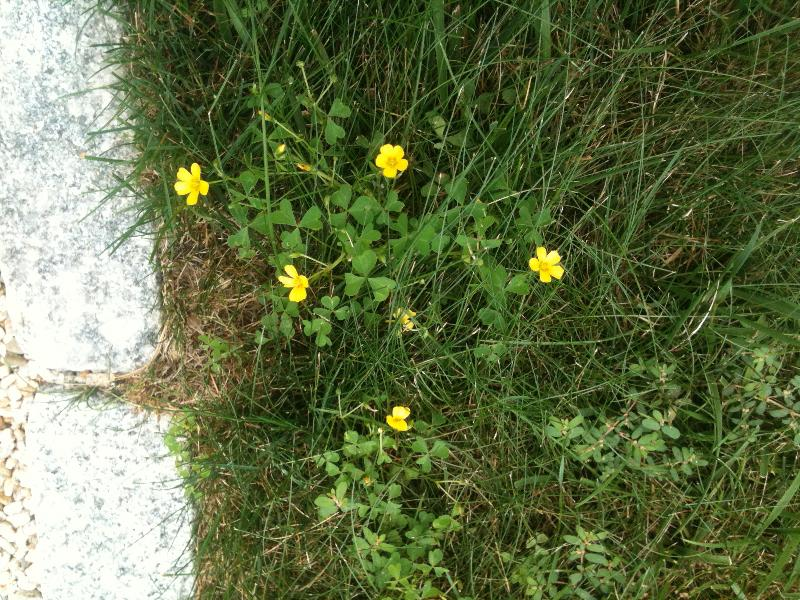 Weeds weeds weeds its tiny yellow flower is also a dead give away clover in lawns usually has a white flower mightylinksfo
