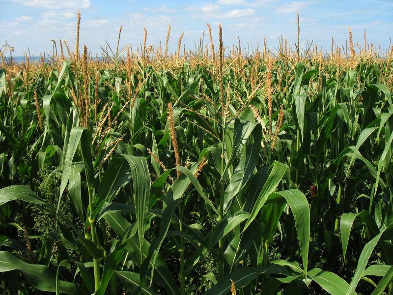 corn growing