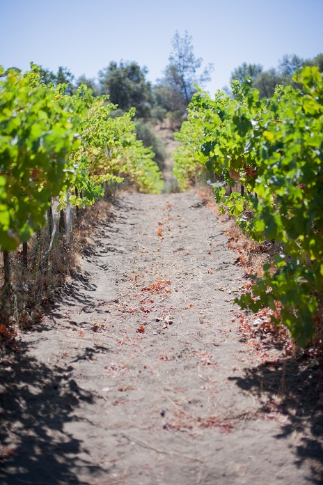 vines credit Annie Starkey at Westbrook Wine Carm