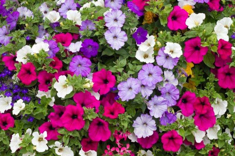 Lots of Colorful petunia flowers close up.