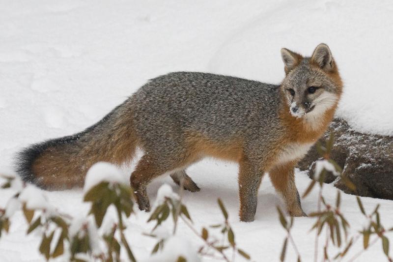 gray fox in winter