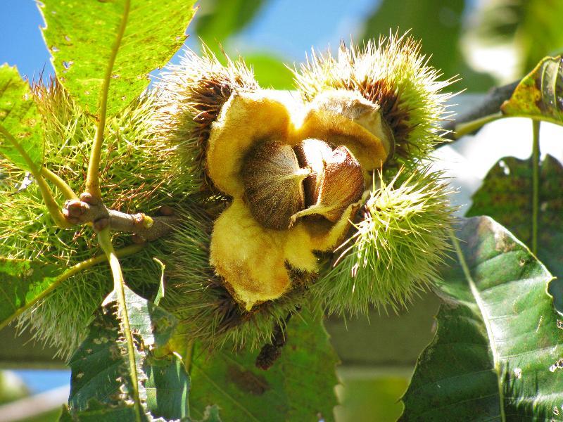 Chestnut burr