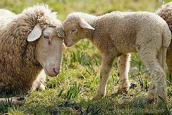 Baby Sheep And Bunnies Gail Callahan Farm Fiber Day