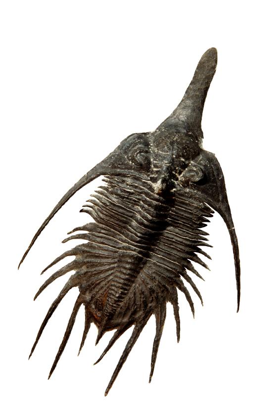 a Trilobite.