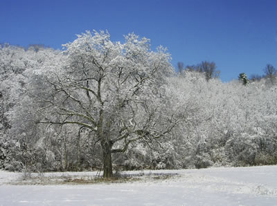 snowy-treescape.jpg