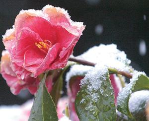 Pink Icicle Camellia
