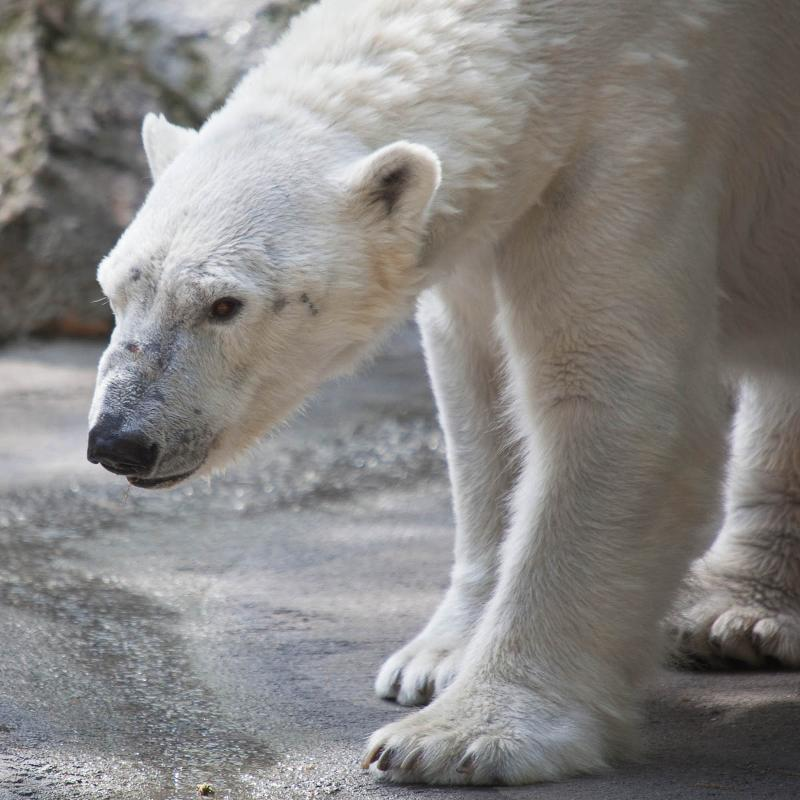 Polar Bear at the Bronx Zoo