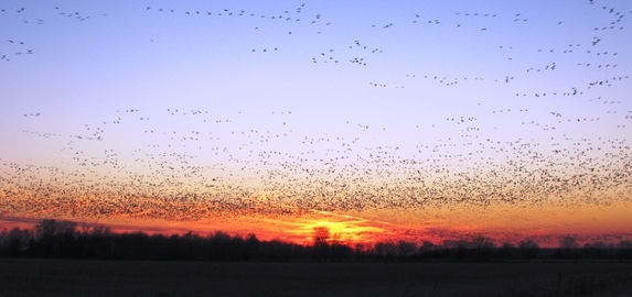 geese flying into sun