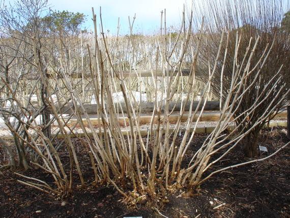Properly pruned Hydrangea